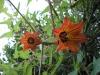 kanarische-glockenblume