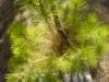 kanarische-kiefer